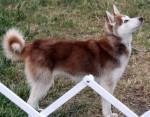 Dog Lisa Johns - Akita Inu Hatchy Female (2 years)