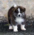 Dog AKITA - Akita Inu Hatchy Male (3 months)