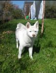 Dog yoki - Akita Inu Hatchy Female (6 months)