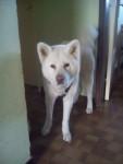 Dog hatchi - Akita Inu Hatchy Male (6 years)
