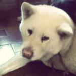 Dog vanille - Akita Inu Hatchy Female (10 years)