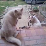 Dog vanille et hatchi - Akita Inu Hatchy  (Has just been born)