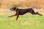Doberman picture