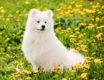 Samoyed picture
