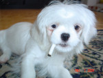 Dog  - Lhassa Apso  (5 months)
