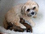Dog  - Lhassa Apso  (Has just been born)