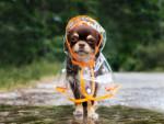 Un adorable Chihuahua porte un imperméable pour chien