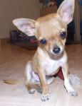 gucci - Male Chihuahua (4 months)