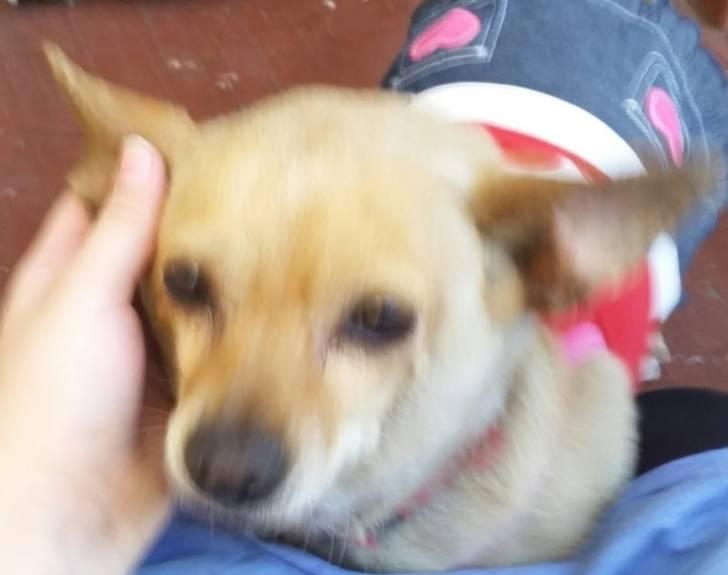 Angel - Chihuahua (5 years)