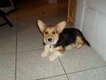 Dog Barney - Pembroke Welsh Corgi  (Has just been born)