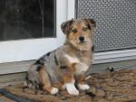 Dog Jack - Pembroke Welsh Corgi Male (4 years)
