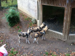 African wild dog . - African wild dog  (Has just been born)