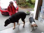 clarissa - Male Beagle (4 years)