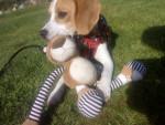 Pup - Male Beagle (8 months)