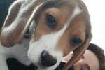 Tara - Beagle (3 months)