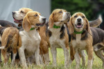 Beagle picture