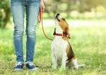 Un Beagle en laisse assis au pied de son maître dans un parc