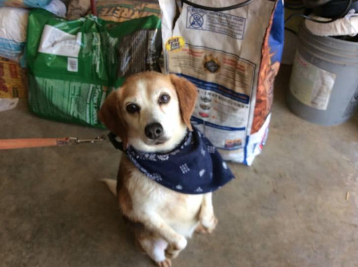 Piper - Beagle (12 years)