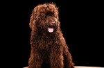 Barbet picture