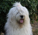 Bobtail mâle de 3 ans : Colonel O'Neill - Old English Sheepdog (3 years)
