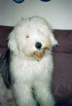 Dog Freya, jeune Bobtail 9 mois - Old English Sheepdog  (9 months)