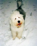Dog Freya 9 mois - Old English Sheepdog  (9 months)