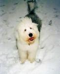 Freya 9 mois - Old English Sheepdog (9 months)