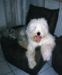 Dog Freya 11 mois - Old English Sheepdog  (11 months)