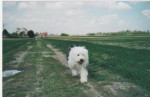 Dog Arielle femelle Bobtail de 7 ans - Old English Sheepdog  (7 years)