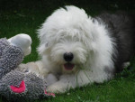 Dog Hooper Bobtail à 6 mois - Old English Sheepdog  (6 months)