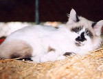 Tillie - Cat