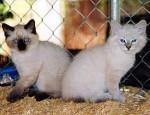 Romeo & Togo - Male Cat