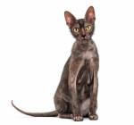 Madison De La Vallée Des Dieux (sphynx) - Cat (1 year)