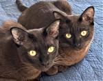 Thai Burmese - Cat