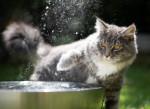 Un jeune Maine Coon gris joue avec l'eau d'une fontaine