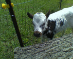 Wild Thing - Male Cow (1 month)