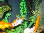 Bolla, Sprite e Pinna - Male Fish