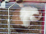 Poussin - Male Guinea pig (4 years)