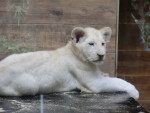 lionceau - Lion
