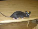 Bunny en manque de Nicotine - Mouse