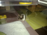 Flocon - Male Mouse (6 months)