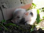 Macchia - Male Pig (1 month)