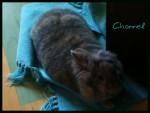 Chanel - Rabbit (1 year)