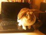 pampine - Rabbit (2 months)