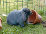 Lolita - Rabbit