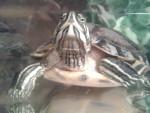 Ma tortue x) - Turtle (1 year)