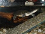 Ussop - Male Turtle (9 months)